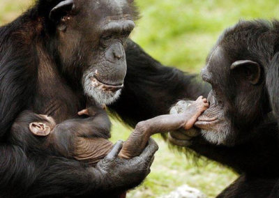 chimp-rights